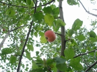 Запретный плод :))